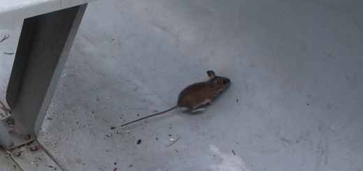 Mouse stowaway from summer canoe trip